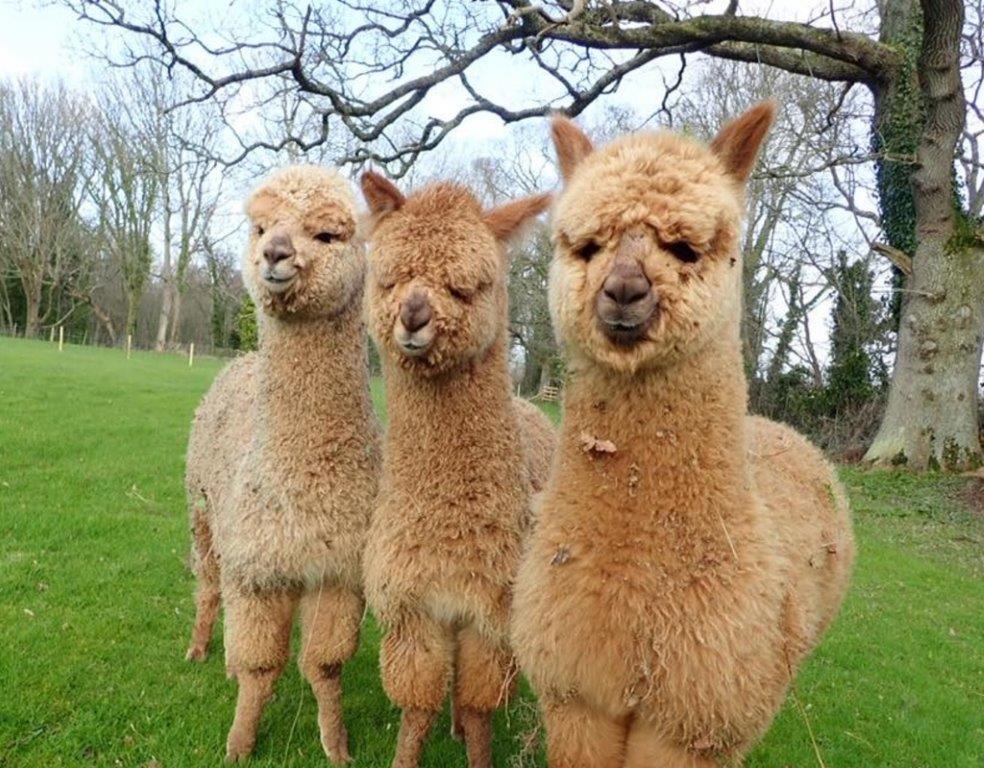 3 alpacas