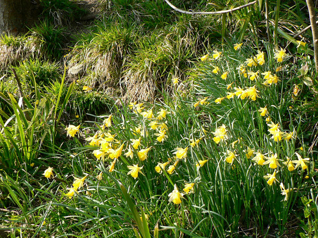 Wild Welsh Daffodils