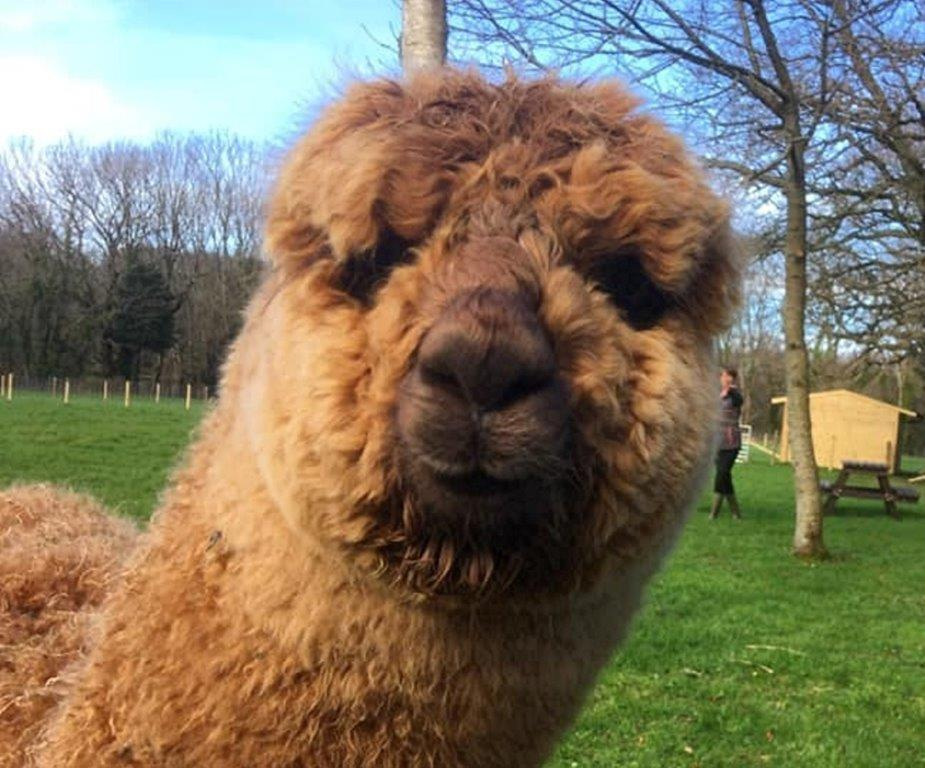 Meet the Alpaca