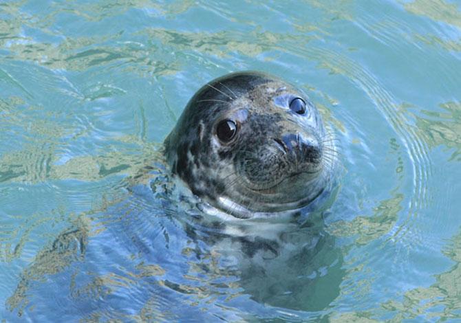 Atlantic Grey Seal Cardigan Bay