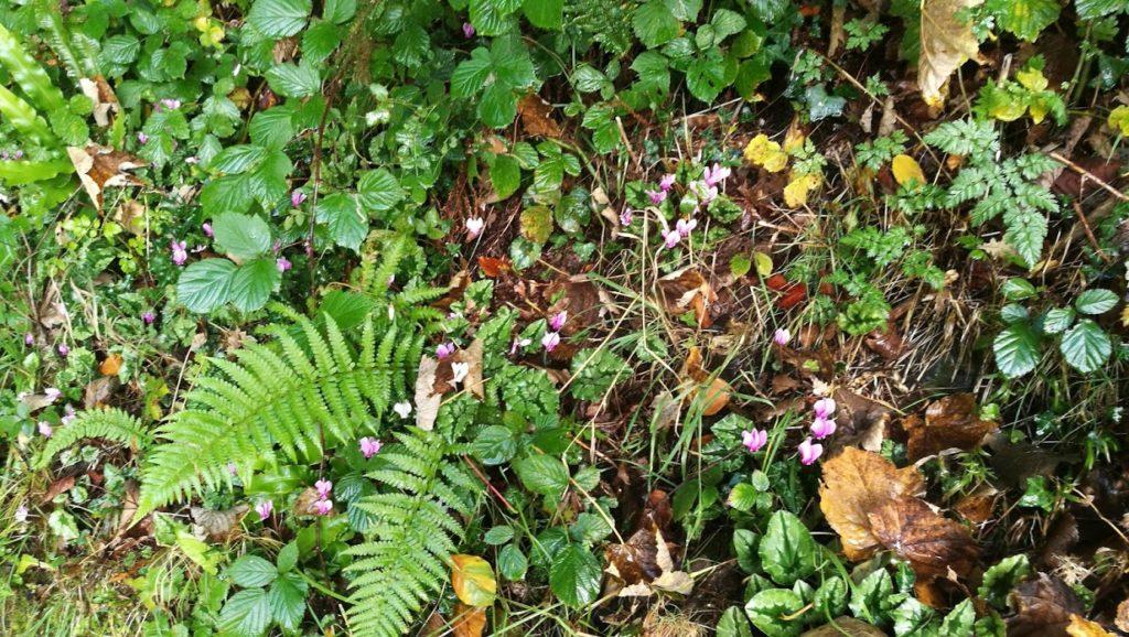 Wild cyclamen (Cyclamen hederifolium)