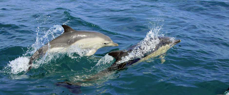 Dolphins of Cardigan Bay