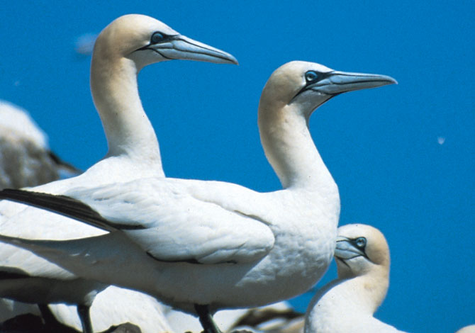 Photo of Gannets - Pembrokeshire County Council