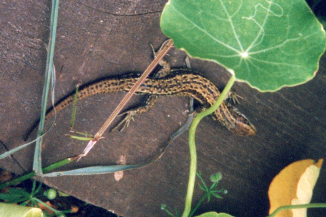 Photo of Lizard in garden - Jane Davies