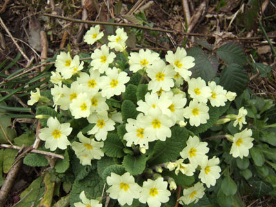 Wild Primroses Wales