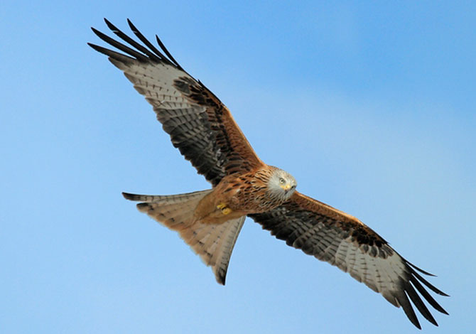 Photo of Red Kite - Janet Baxter