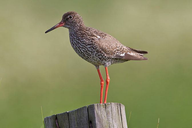 Photo of Redshank - Andreas Trepte www.photo-natur.de