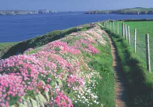 Sea Campion (silene maritima) and Thrift or Sea Pinks (Armeria maritima) Wild Flowers of Cardigan Bay