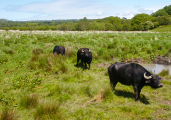 Water Buffalo at the Welsh Wildlife Centre