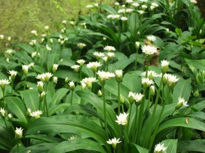 Wild garlic Wales