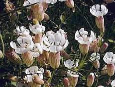 Sea Campion flower